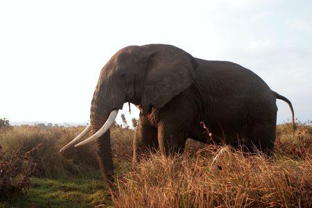 urinate: Urinate elephant in grass