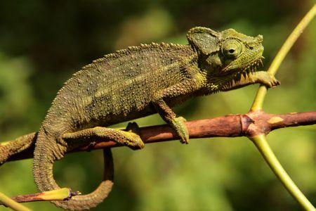 wildlive: Chameleon Stock Photo