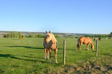 A herd of horses graze in a pasture near Sundre, Alberta, Canada