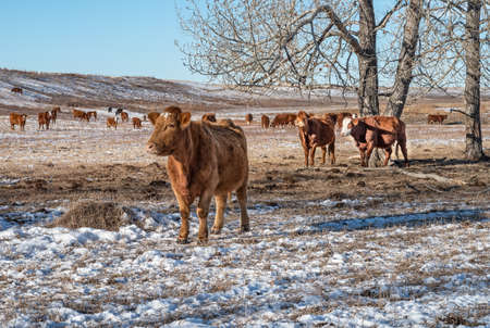 Cows in a pasture near Beiseker, Alberta, Canada