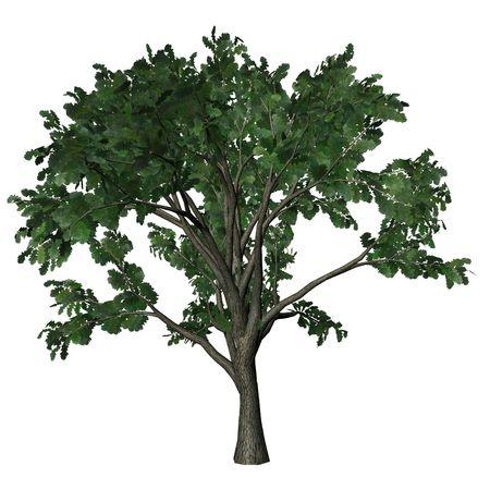 rendering: 3D Tree Series - Oak Tree Stock Photo