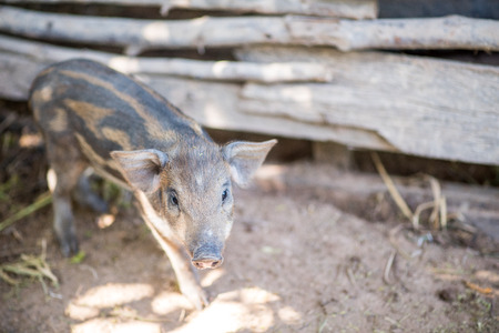 sharply: The Indian boar differs from its European counterpart by its larger, more sharply featured and straighter skull, its smaller, sharper ears and overall lighter build Stock Photo