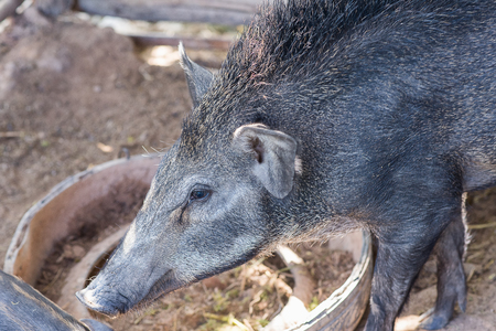 differs: The Indian boar differs from its European counterpart by its larger, more sharply featured and straighter skull, its smaller, sharper ears and overall lighter build Stock Photo
