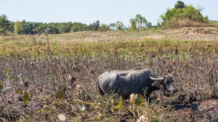 bovid: The water buffalo or domestic Asian water buffalo (Bubalus bubalis) is a large bovid originating in South Asia