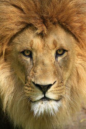 lion face: lion Stock Photo
