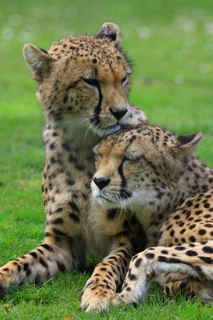 in twos: Gepard
