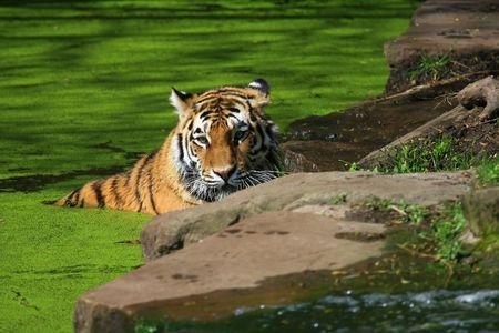 wilds: Tiger