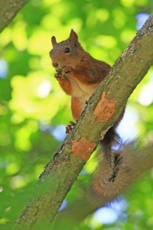 squirrel Standard-Bild