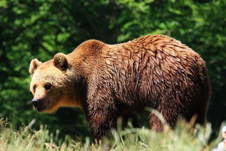 bear Foto de archivo