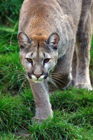 cougar: puma Stock Photo