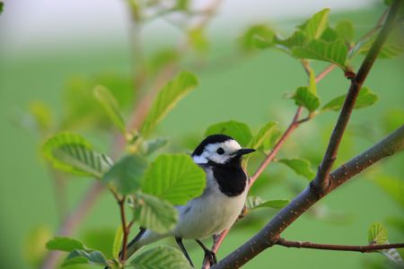 wagtail: white wagtail  Stock Photo