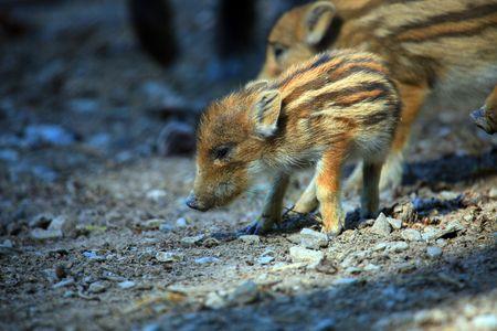 a photo of baby wild pigs in springtime Foto de archivo