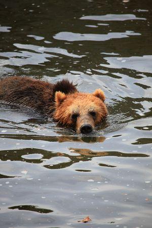 kodiak bear photo