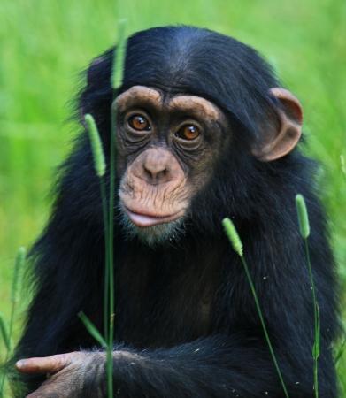 chimp Foto de archivo