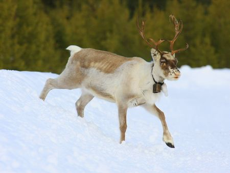 reindeer Stock Photo - 5616841