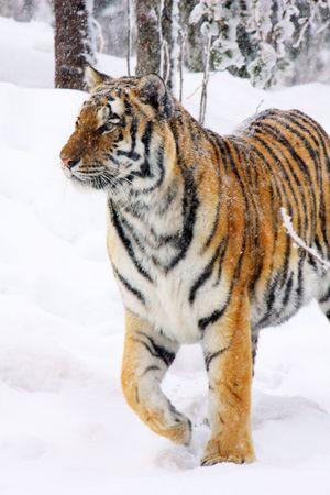 panthera: tigre Archivio Fotografico