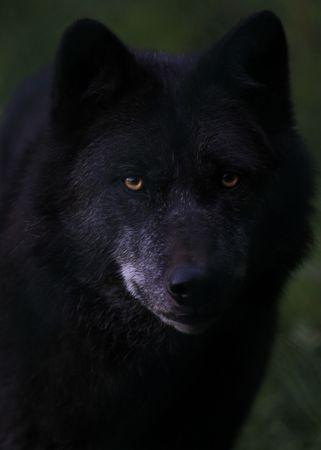 wolf Standard-Bild