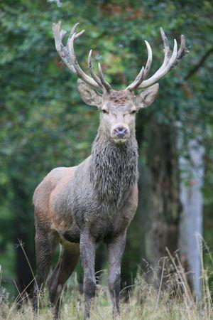 red deer Standard-Bild