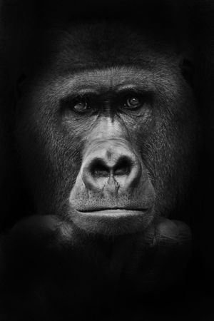 gorilla: gorila  Foto de archivo