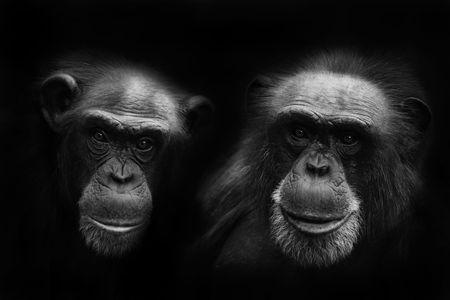 orangutang: chimps