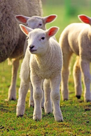 young sheep in spring 2009
