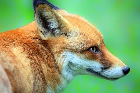 elusive: fox