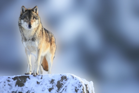 blue grey coat: wolf Stock Photo