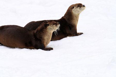 poacher: river otter