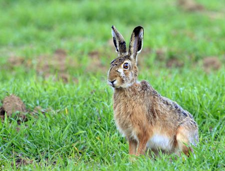 european hare Stock Photo