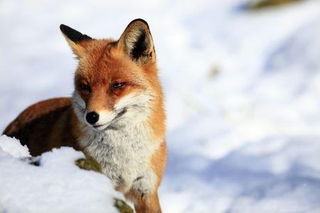 fox Stock Photo - 6798824