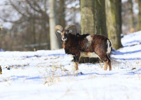 mouflon: mouflon