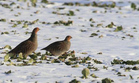 kuropatwa: Partridge