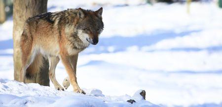 wolf Foto de archivo
