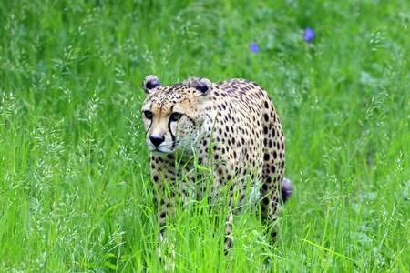 cheetah Foto de archivo