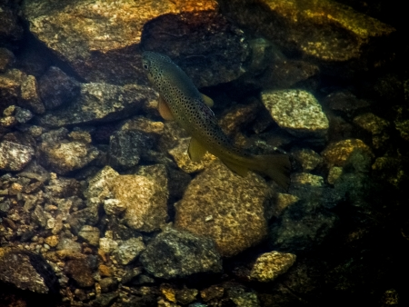 brown trout: The brown trout Stock Photo