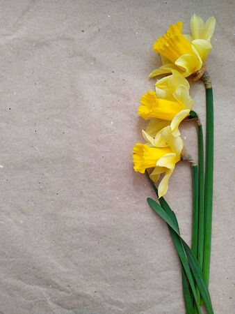 layout of yellow daffodils on craft recycled paper. base for a card