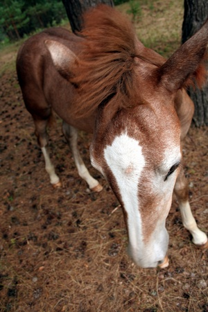 single brown foal in the forest photo