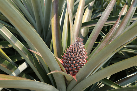 this is a picture of pineapple farm in the North of Thailand.