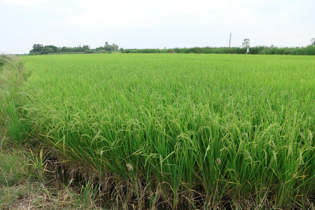 Rice field which is ready to be cultivated. This location is in Bangkok, Thailand.