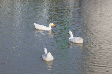A group of ducks are swimming in pond Stock Photo