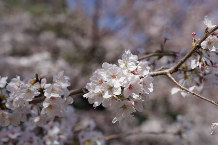 cherry blossom flower in this picture was taken in Osaka castle during Spring season of 2019. Stock Photo - 128047211