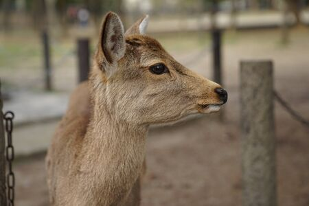 Nara deer was standing in front of Todaiji temple which is well-known to tourist as a city of deer. Stock Photo