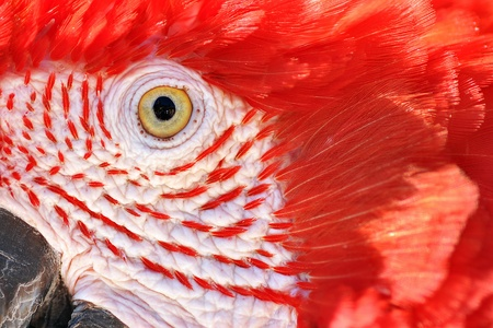 Closeup of a Scarlet Macaw photo