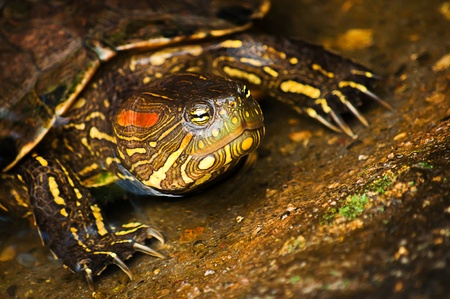 Red-eared Slider Turtle Stock Photo - 12944529