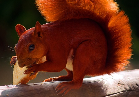 Red Squirrel Stock Photo - 12944491