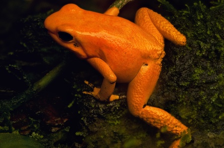 exotic frog: A closeup of a golden poison frog in Colombia