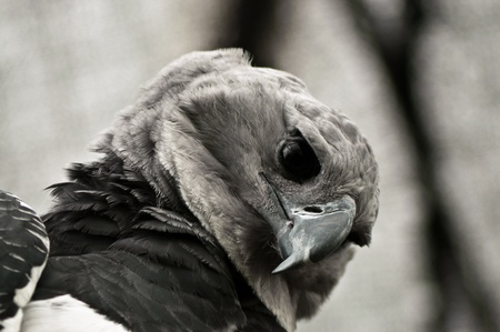 A closeup shot of the face of a harpy eagle  Stock Photo - 13208170