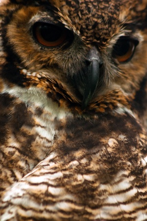 A closeup of the face of a great horned owl  photo