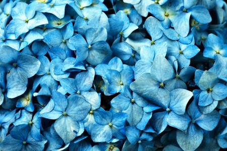 A closeup picture of a blue hydrangea flower  Stock Photo