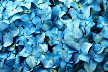 jardines con flores: Un cuadro del primer de una flor azul del hydrangea